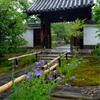 京都・祇園 - 建仁寺禅居庵の参道に咲く桔梗