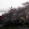 おそらく今年最後の桜撮影 名鉄名古屋本線 境川付近