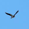 大空を飛ぶタゲリ