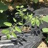 挿し木したミニオトマトの姿勢がよく、元のミニトマトはくにゃくにゃしている