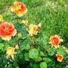 バラが咲いた大通公園