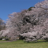 2019砧公園の桜 満開🌸🌸🌸Cherry Blossoms at Kinuta park, Tokyo