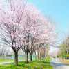 農試公園と北海道大学でお花見!ソメイヨシノの開花まであと少し