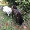 甲斐犬サンのゴボウのシッポ番外編〜日本スピッツ マコの「ネェちゃんのマネしたいィッ」٩( ᐛ )و〜