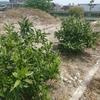 ミカンの木 生育状況と和歌山就農状況