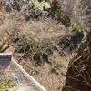 浄智寺のイワタバコとタチゴケ