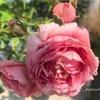 【庭】バラ新苗、その後③