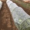 雨上がり、キャベツ②畝の除草