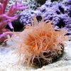 (海水魚 サンゴ)ウチウラタコアシサンゴ ピンク(1個) 北海道航空便要保温 沖縄別途送料