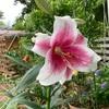 鉄砲百合の開花