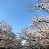 さくらmemo、上野公園。