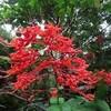 ヒギリの花