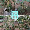 中玉トマト栽培記録 (4~6週間)