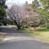 桜二分咲き