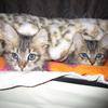 子猫 キジトラ姉妹 元気になったよ!