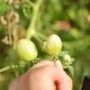 ミニトマトにカメムシが大量発生!!やっておきたいカメムシ対策に必要な3つのこと!