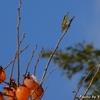 日本 渋柿とメジロ