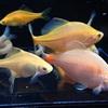 イエローバラタナゴの飼育方法・特徴・繁殖・購入・注意点を紹介!