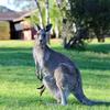 """オーストラリアに来たら""""カンガルー""""を食べよう!?"""