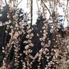 3月の偕楽園の梅など