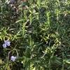 ローズマリー(2種類)花が咲きました!