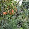 庭の花々と本日のガーデニング