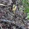 野生のガンゼキランを見ました。
