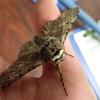 春の代表的な蛾 トビモンオオエダシャク