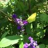 ブルーセージにキチョウ 今頃まで蜜を吸っていていいのかな? ---このまま越冬するそうです