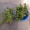 JAのモニターで枝豆収穫体験