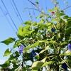 「佐久の季節便り」、青空にl映える、「アサガオ(朝顔)」の花々…。