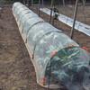 カリフラワー畝の除草