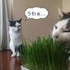 猫草を買ったら大喜び!簡単に育てられるので割とおすすめ!