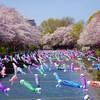 群馬県館林市の2019年(平成31年)さくらの開花情報