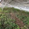 野立太陽光2基目~グランドカバーの種まきの続き&草抜きをしてきた