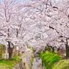 2019年京都の桜『哲学の道』『平野神社』『加茂川』に行ってきた