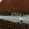 網走・能取湖のサンゴ草03 2007年9月15日撮影