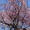 桜が咲いた〜〜。