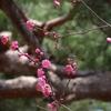 梅と桜がそろい咲き…