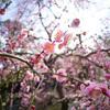 城南宮の枝垂れ梅など その1