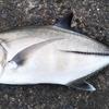 40cmオーバーの良型メッキを釣った際のタックルとルアーを紹介。