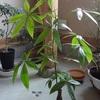 本日は、遅ればせながらの越冬後の観葉植物のご報告。