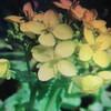 4月1日誕生日の花と花言葉