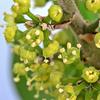 シェフレラの花