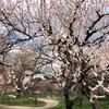 遅ればせながら、梅や桜の写真