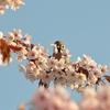 はじめて撮影した桜の写真を振り返ってみました@北海道岩見沢