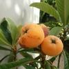 鉢植えで実がなったビワ