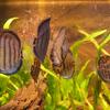 ディスカスSymphysodon aequifasciatus