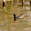 春の手賀沼で遊ぶバン