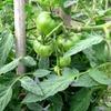野菜の成長をみるのが楽しみ